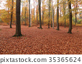 Beech forest in autumn 35365624