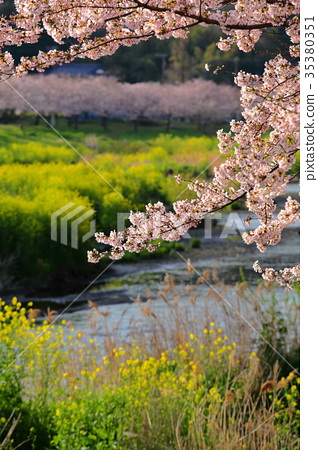 櫻桃樹 35380351