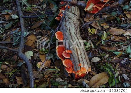 "Autumn mushroom ""Hirotake"" 35383704"