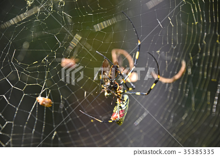 Joro gumo (female spider) 35385335