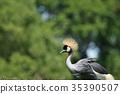 balearica, regulorum, bird 35390507