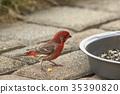 wild bird, finch, sparrow 35390820