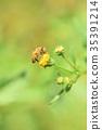 蜜蜂 日本蜜蜂 蒲公英 35391214