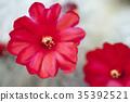 仙人掌 花朵 花卉 35392521