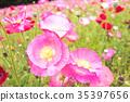 poppy, bloom, blossom 35397656