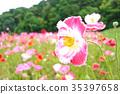 poppy, bloom, blossom 35397658