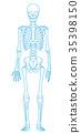 骨架 框架 解剖學 35398150