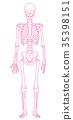 骨架 框架 解剖學 35398151