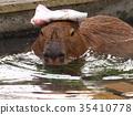 capybara, pretty, bathe 35410778