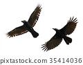 Image of black crow flying on white background. 35414036