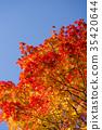 단풍, 단풍 나무, 에조오오모미지 35420644