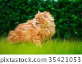brown Persian cat on the grass field 35421053