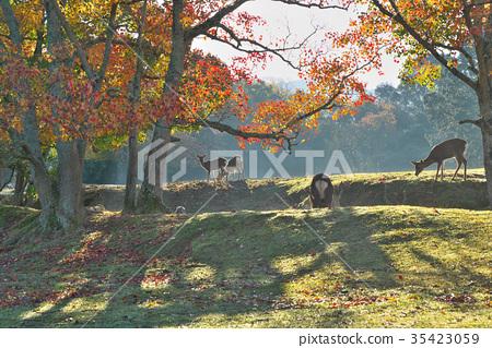 가을, 사슴, 단풍 35423059