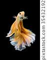 Close up art movement of Betta fish 35432192