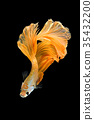 Close up art movement of Betta fish 35432200