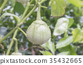 Closeup of eggplants or solanum laciniatum. 35432665