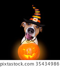 halloween pumpkin dog isolated on black 35434986