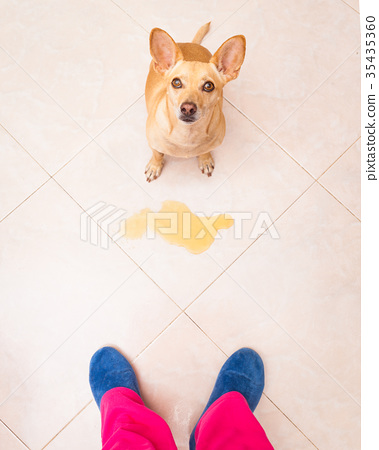 dog pee owner at home 35435360