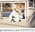 dog in shelter cage 35435732