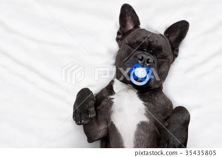 dog sleeping  in bed 35435805