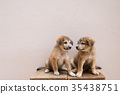 Two little cute twin  brown puppies are playing 35438751