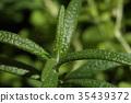 로즈마리, 식물, 잎 35439372
