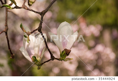 two magnolia flowers in the backyard 35444924