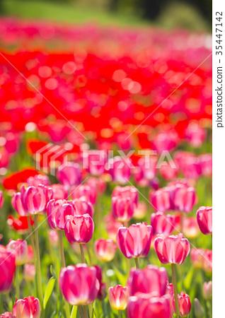 鬱金香 鬱金香花叢 花朵 35447142