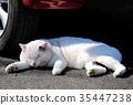 แมว,ลูกแมว,น่ารัก 35447238