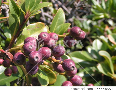 rhaphiolepis umbellata, fruit, dark purple 35448351