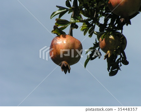 pomegranate, pomegranates, fruit 35448357