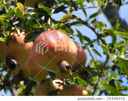 pomegranate, pomegranates, fruit 35448359