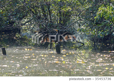 在Ishigami公園Sanhoji池塘的Kawau 35453736