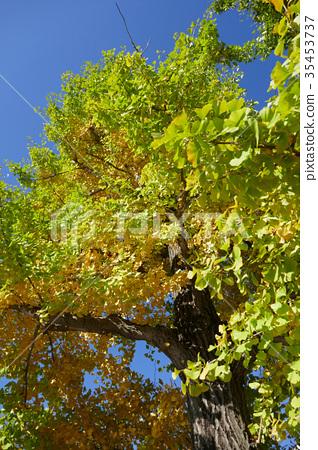 Ishigami公園的銀杏樹 35453737