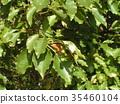 조롱박 모양의 작은 열매를 착용 녹나무의 거목 35460104