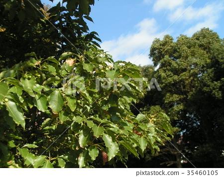 樟木 樟脑树 水果 35460105