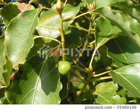 camphor, camphor tree, camphor wood 35460106