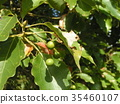 조롱박 모양의 작은 열매를 착용 녹나무의 거목 35460107