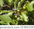 조롱박 모양의 작은 열매를 착용 녹나무의 거목 35460108