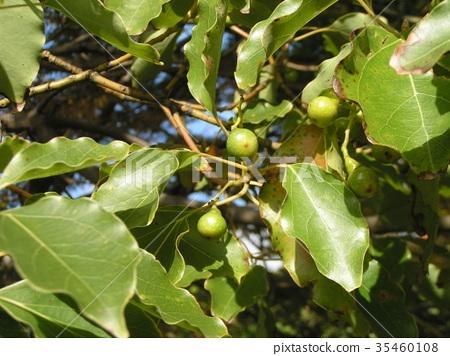 樟木 樟脑树 水果 35460108