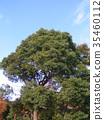 樟樹大樹反對藍天的 35460112