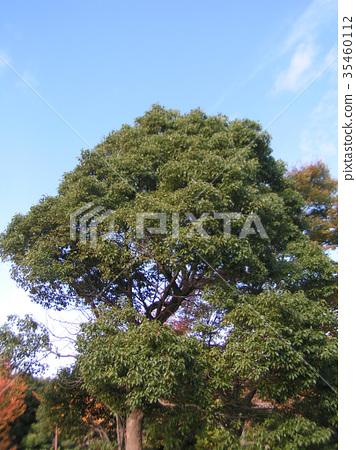 camphor tree, an evergreen tree, november 35460112