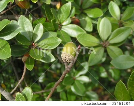 ubame oak, acorn, acorns 35461204