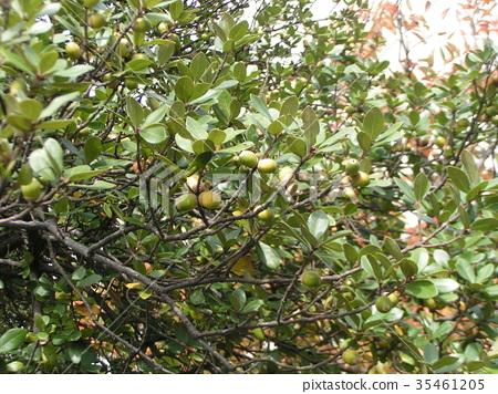 今芽樫 橡果 漿果 35461205