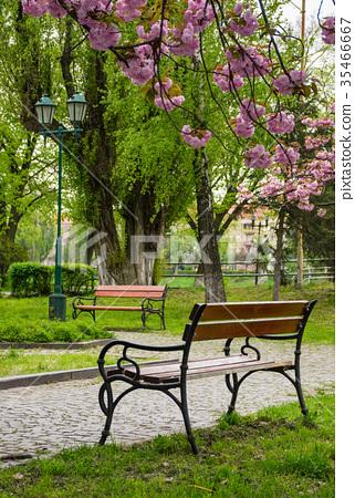 wooden benches under sakura trees 35466667