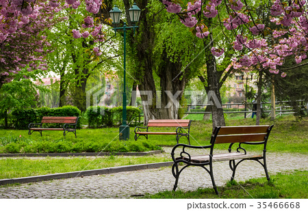 wooden benches under sakura trees 35466668