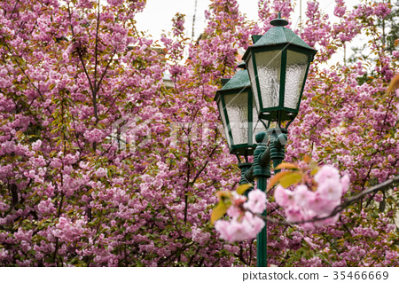 old green lantern among cherry blossom 35466669