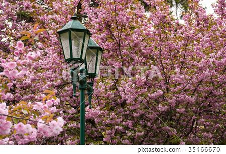 old green lantern among cherry blossom 35466670