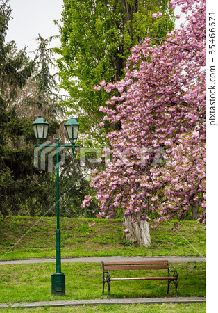 lantern, wooden bench and cherry blossom 35466671