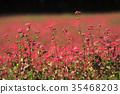 red buckwheat, soba, blossom 35468203
